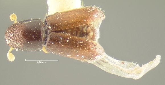 Image of <i>Cryphalus asperulus</i>