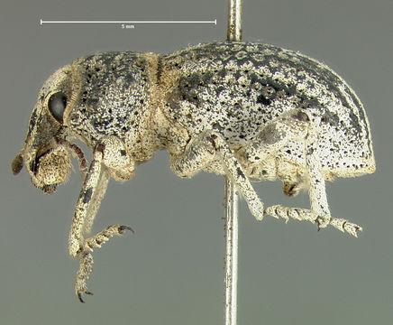 Image of <i>Ophryastes tuberosus</i> Le Conte 1853