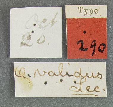 Image of <i>Ophryastes latirostris</i> Le Conte 1853
