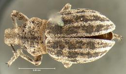 Image of <i>Ophryastes sulcirostris</i> (Say 1824)