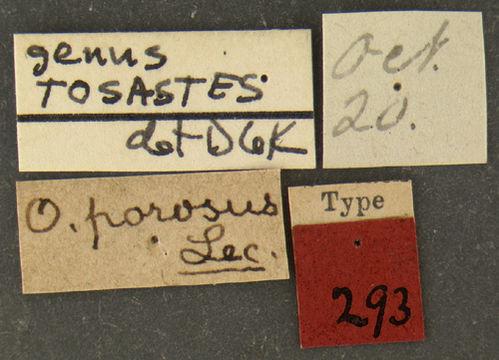 Image of <i>Ophryastes porosus</i> Le Conte 1854