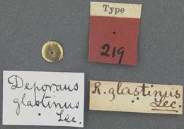 Image of <i>Deporaus glastinus</i> O'Brien & Wibmer 1982