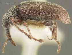 Image of <i>Cimberis pilosa</i> (LeConte 1876)