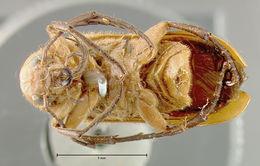 Image of <i>Nemognatha</i> (<i>Meganemognatha</i>) <i>lurida</i> (Le Conte 1853)