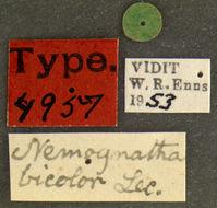 Image of <i>Nemognatha bicolor</i> LeConte 1853