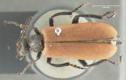 Image of Blister Beetle