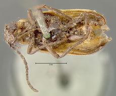 Image of <i>Nemognatha</i> (<i>Pauronemognatha</i>) <i>cribraria</i> Le Conte 1853