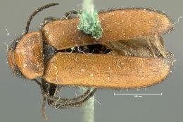Image of <i>Nemognatha</i> (<i>Pauronemognatha</i>) <i>scutellaris</i> Le Conte 1853