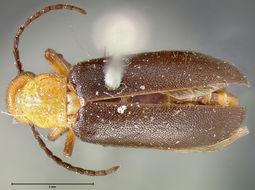 Image of <i>Nemognatha</i> (<i>Pronemognatha</i>) <i>sparsa</i> Le Conte 1868