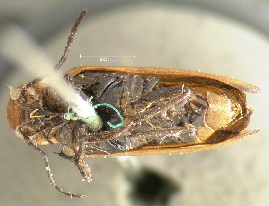 Image of <i>Nemognatha dichroa</i> LeConte 1853