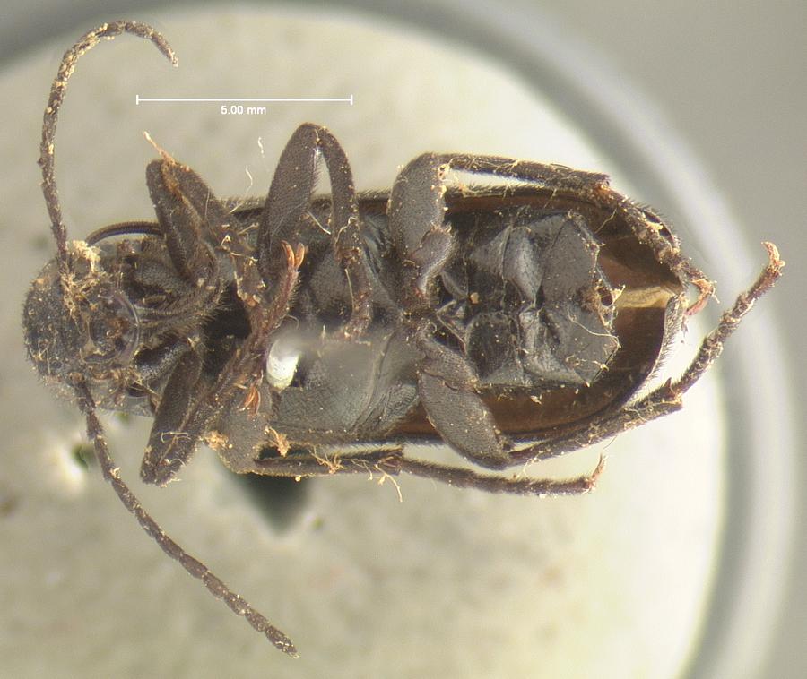 Image of <i>Nemognatha dubia</i> LeConte 1853