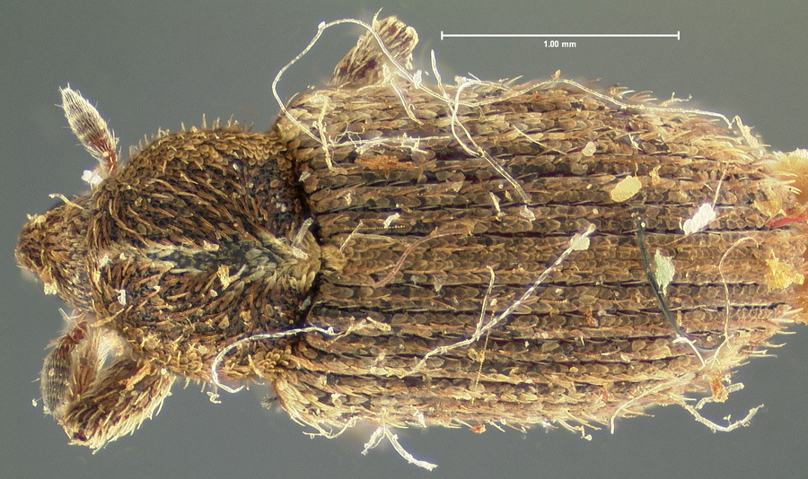 Image of <i>Tychius soltaui</i> Casey 1892