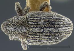 Image of <i>Tychius dilectus</i> Casey 1910