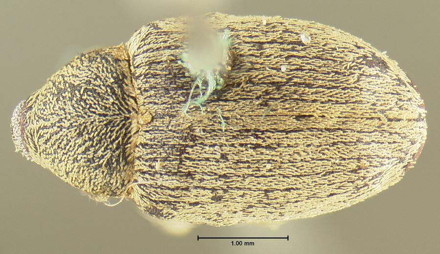 Image of <i>Tychius carolinae</i> Casey 1910