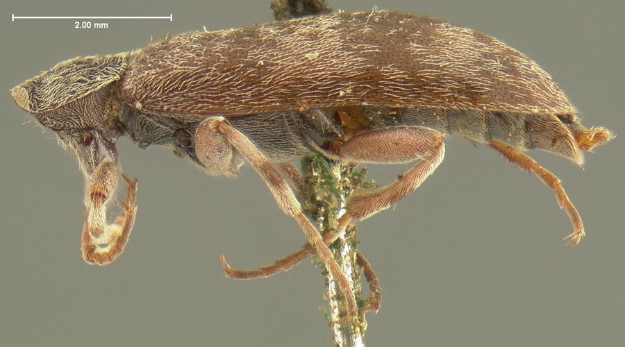 Image of <i>Anelpistus americanus</i> Horn 1870