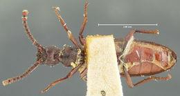 Image of <i>Dacoderus laevipennis</i> Horn 1893