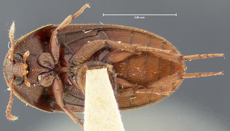 Image of <i>Eustrophus tomentosus</i> Say 1827