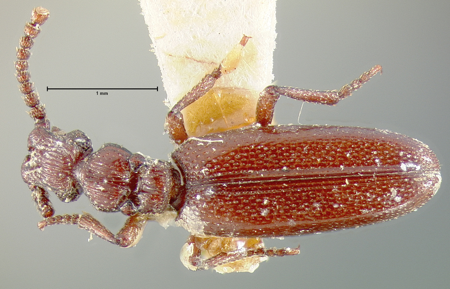 Image of <i>Dacoderus striaticeps</i> Le Conte 1858