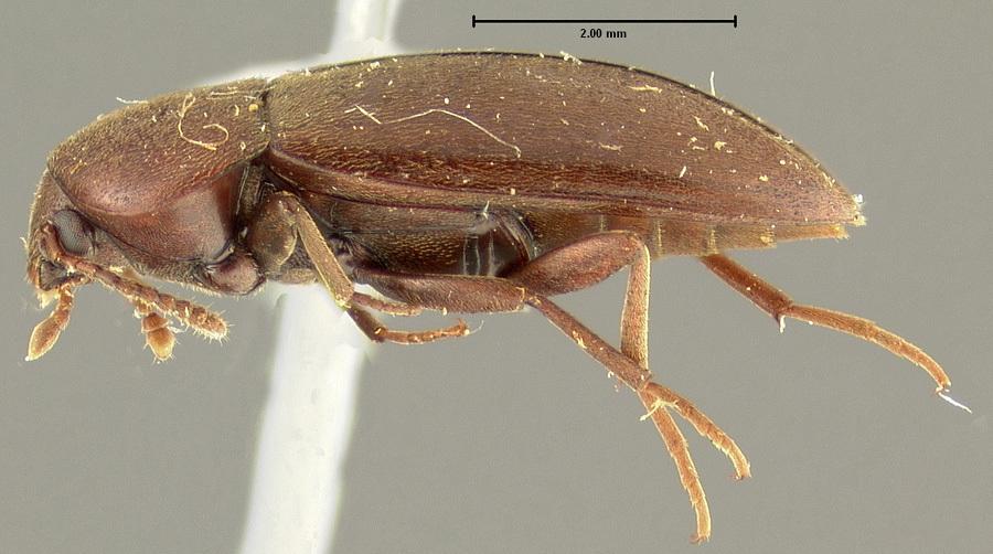 Image of <i>Pseudoholostrophus impressicollis</i> (Le Conte 1874)