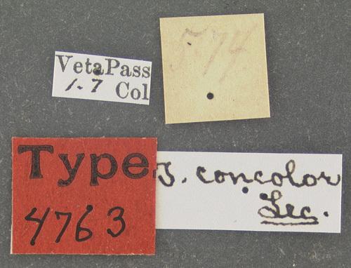 Image of <i>Tetratoma</i> (<i>Incolia</i>) <i>concolor</i> Le Conte 1879