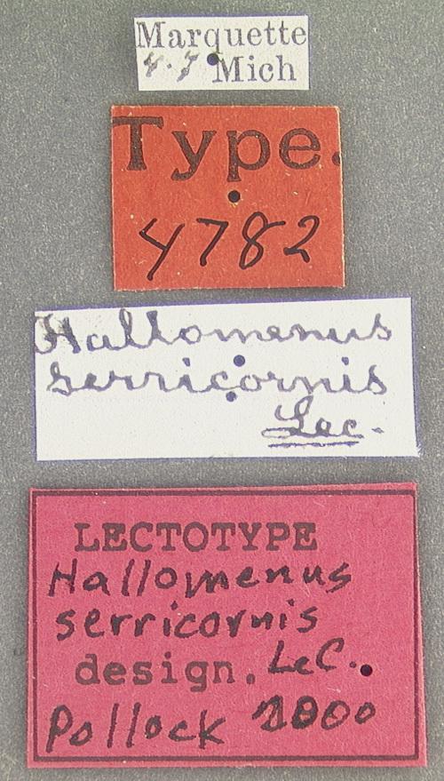 Image of <i>Hallomenus serricornis</i> Le Conte 1878