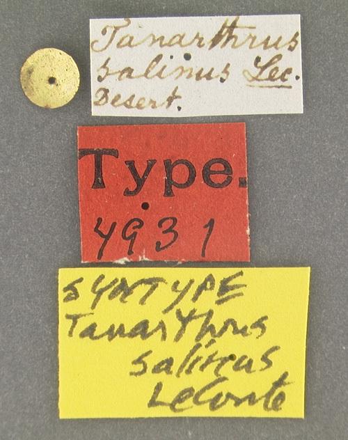 Image of <i><i>Tanarthrus</i></i> (Tanarthrus) <i>salinus</i> Le Conte 1851