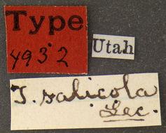 Image of <i>Tanarthrus</i> (<i>Tanarthropsis</i>) <i>salicola</i> Le Conte 1875