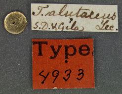 Image of <i>Tanarthrus</i> (<i>Tanarthropsis</i>) <i>alutaceus</i> (Le Conte 1852)