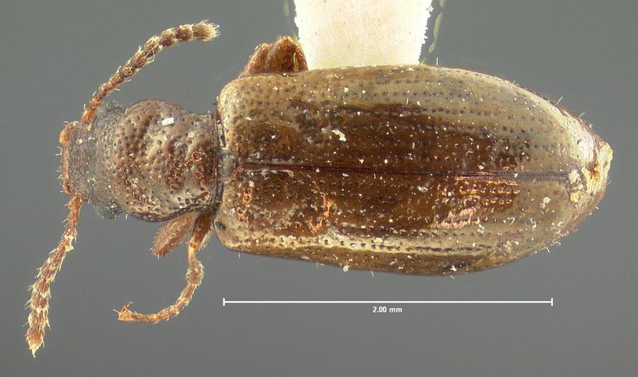 Image of <i>Vincenzellus elongatus</i> (Mannerheim 1852)