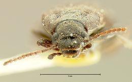 Image of <i>Mallodrya subaenea</i> Horn 1888