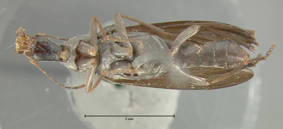 Image of <i>Cephaloon piceum</i> Horn 1874