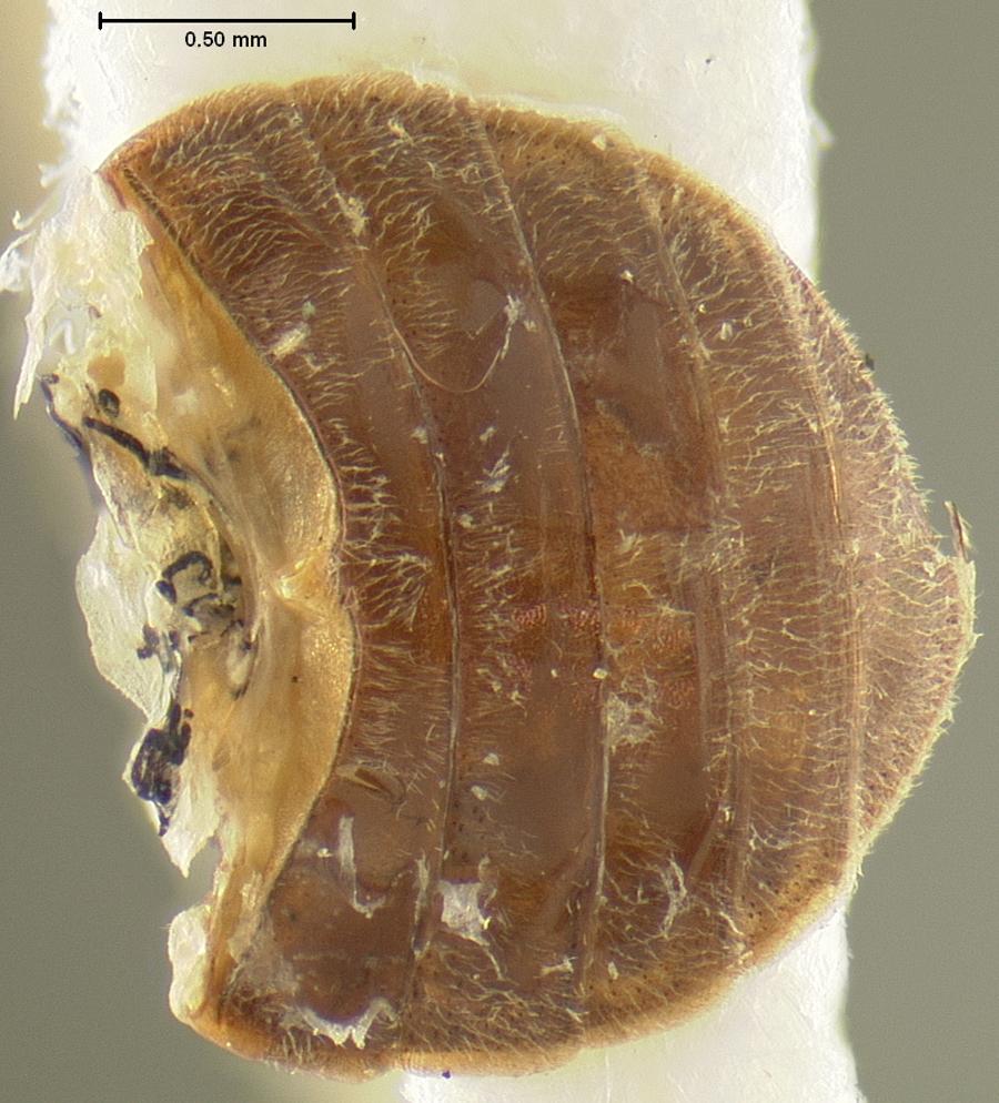 Image of <i>Dicranopselaphus variegatus</i> Horn 1880