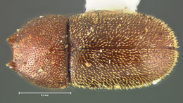 Image of <i>Ennearthron aurisquamosum</i> Lawrence 1971