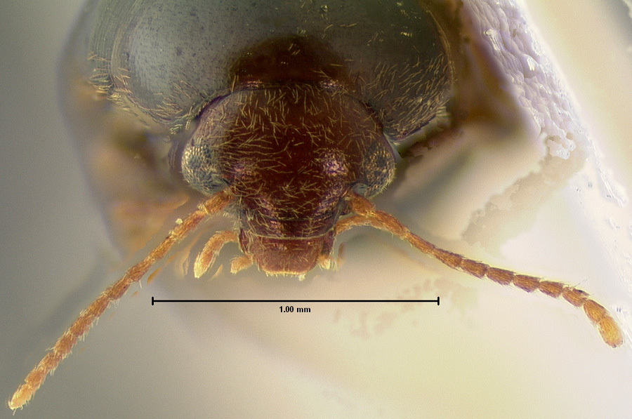 Image of <i>Eucinetus strigosus</i> Le Conte 1875