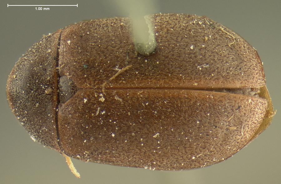 Image of <i>Ectopria nervosa</i> (Melsheimer 1845)