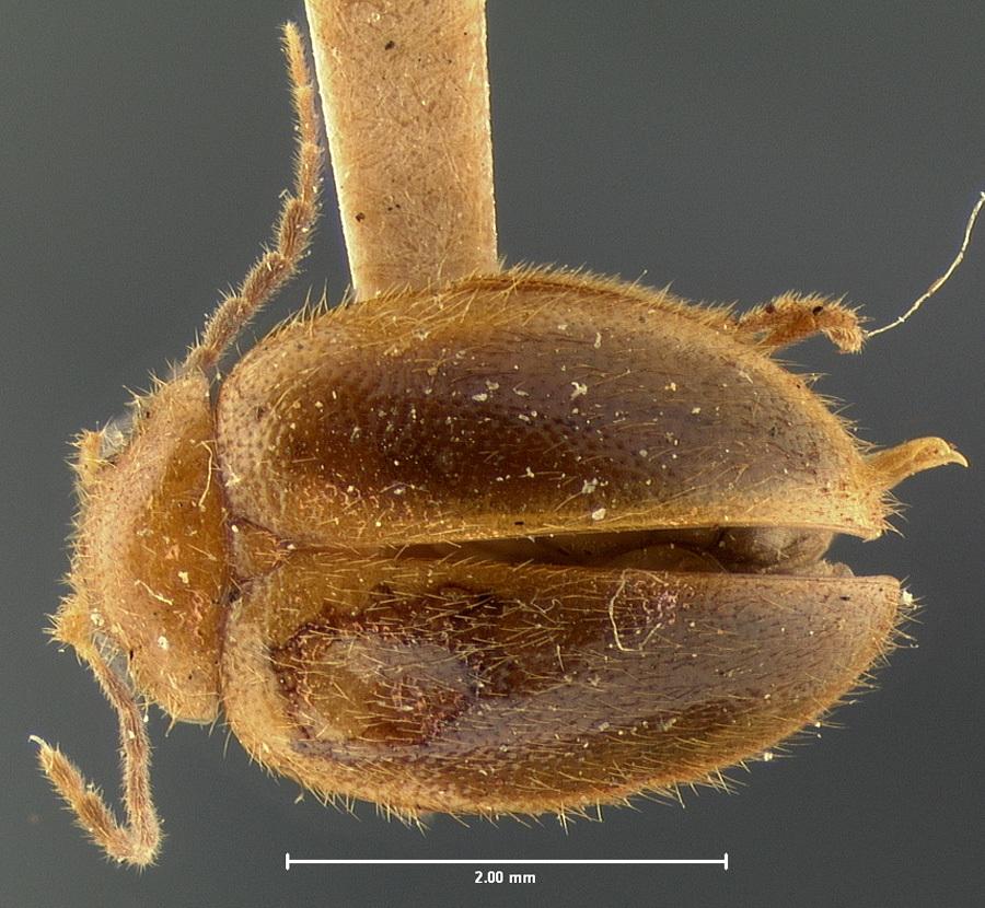 Image of <i>Prionocyphon limbatus</i> Le Conte 1866