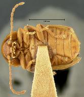 Image of <i>Microcara explanata</i> (Le Conte 1866)