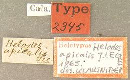 Image of <i>Elodes apicalis</i> (Le Conte 1866)