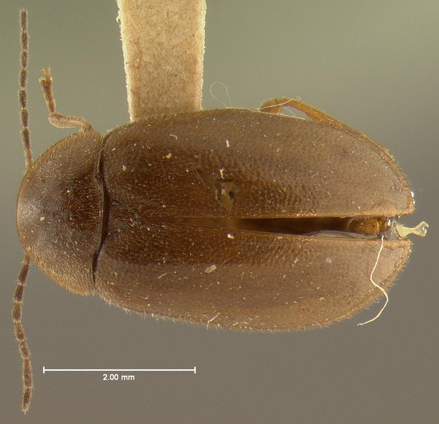 Image of <i>Cyphon robustus</i> LeConte 1875