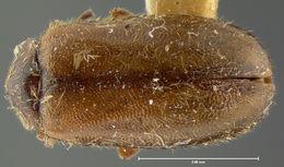 Image of <i>Cyphon brevicollis</i> LeConte 1866