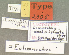 Image of <i>Eulimnichus analis</i> (Le Conte 1879)