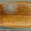 Image of the texas beetle