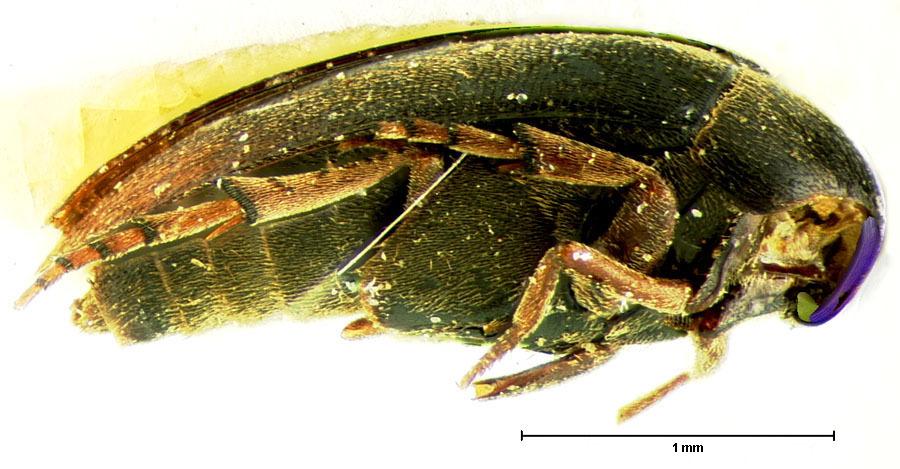 Image of <i>Eucinetus terminalis</i> Le Conte 1853