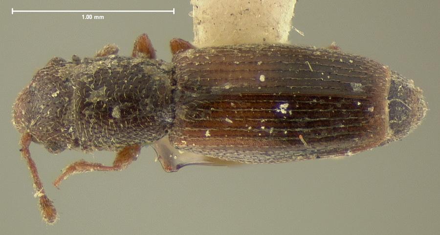 Image of <i>Hesperobaenus abbreviatus</i> (Motschulsky 1845)