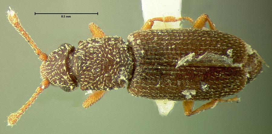 Image of <i>Monotoma texana</i> Horn 1879