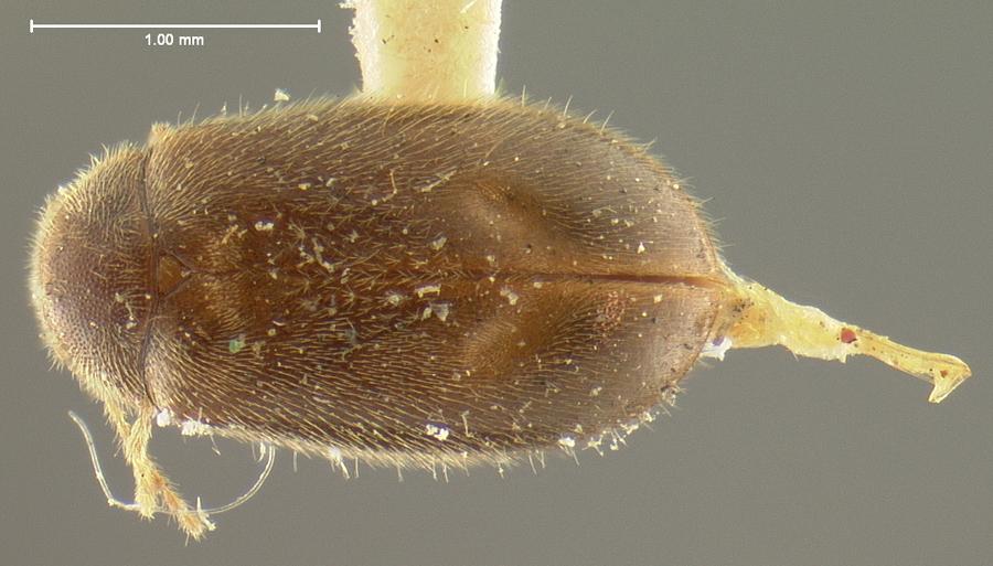 Image of <i>Cyphon americanus</i> Pic 1913