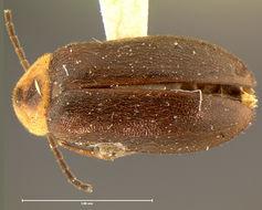 Image of <i>Helodes maculicollis</i> Horn