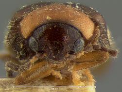 Image of <i>Cyphon exiguus</i> Horn