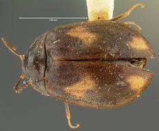 Image of <i>Acneus quadrimaculatus</i> Horn 1880