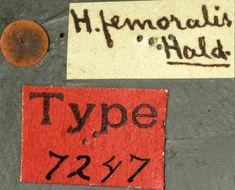 Image of <i>Hyperplatys femoralis</i> Haldeman 1847